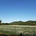 0912韭菜花田38.jpg
