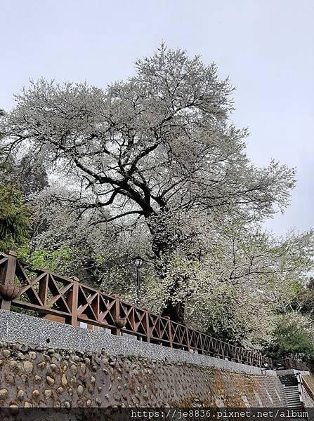 2010霧社櫻王59.jpg
