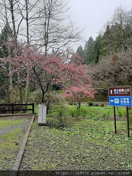 2010霧社櫻王2.jpg