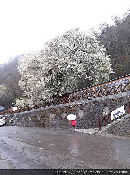 2010霧社櫻王4.jpg