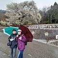 2010霧社櫻王9.jpg