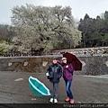 2010霧社櫻王10.jpg