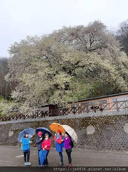 2010霧社櫻王7.jpg