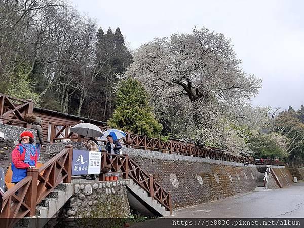 2010霧社櫻王57.jpg