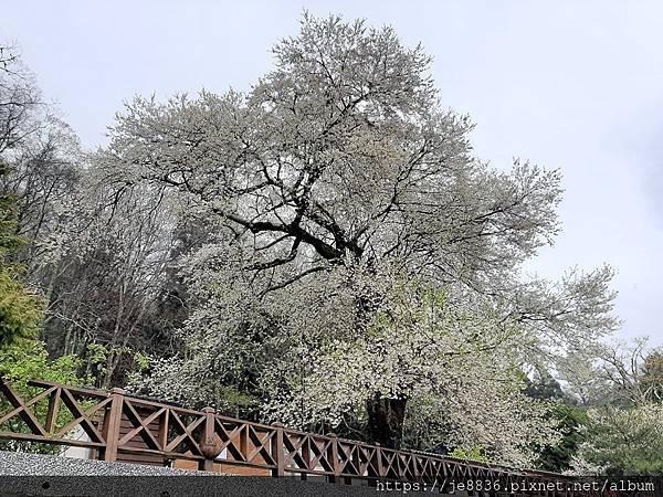 2010霧社櫻王58.jpg