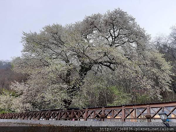 2010霧社櫻王62.jpg
