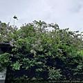 0521花露農場繡球花32.jpg