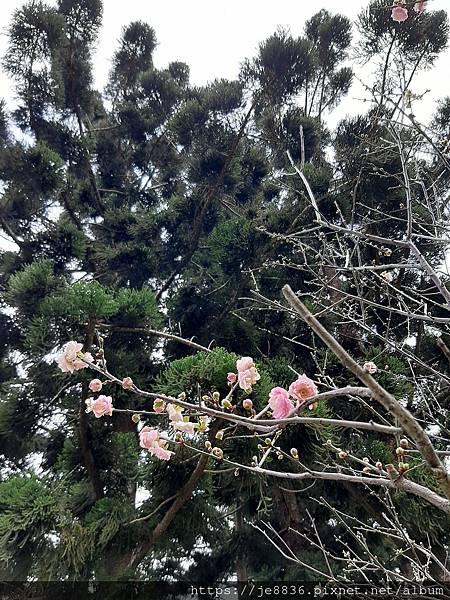 0124中正紀念堂賞梅8.jpg