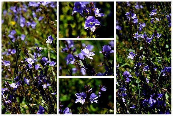 紫小花.jpg
