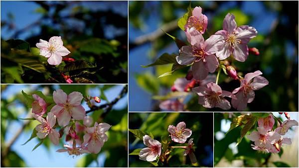 芬園櫻花1.jpg