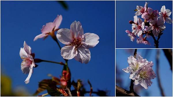 芬園櫻花2.jpg