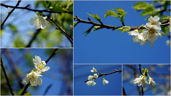 芬園櫻花3.jpg