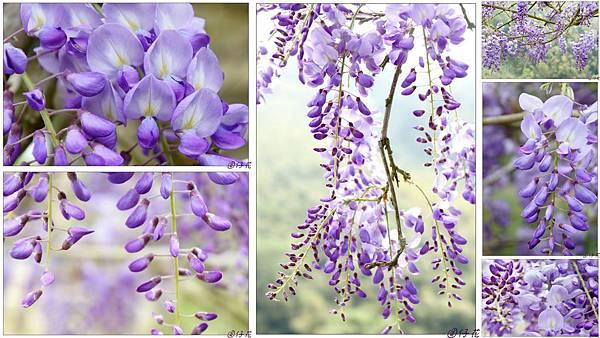 瑞里。紫藤.jpg