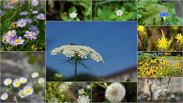 北海道野花.jpg