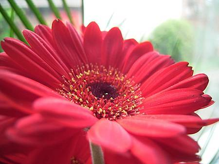 birthday-gerbera-macro