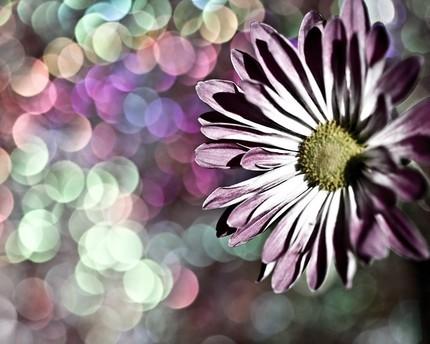 beautiful,flower,daisy,floral,lavender,nature-da0ca96e4d98f53e9ae4243c7dfa4ba4_h.jpg