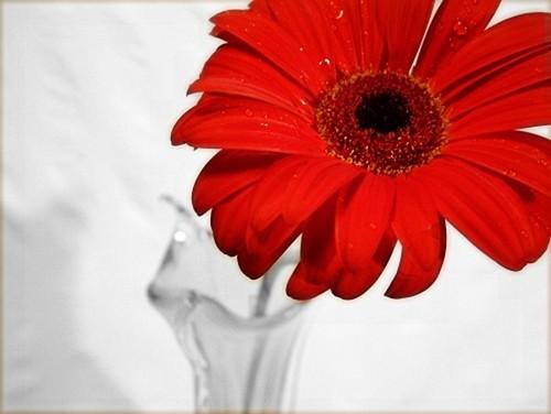 daisies,flowers,gerber,daisies,photography-ffb2cf97f7acf0e66e45544b126d4a08_h.jpg