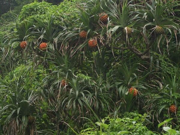 林投的果實