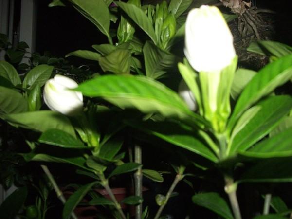 黃枝花含苞