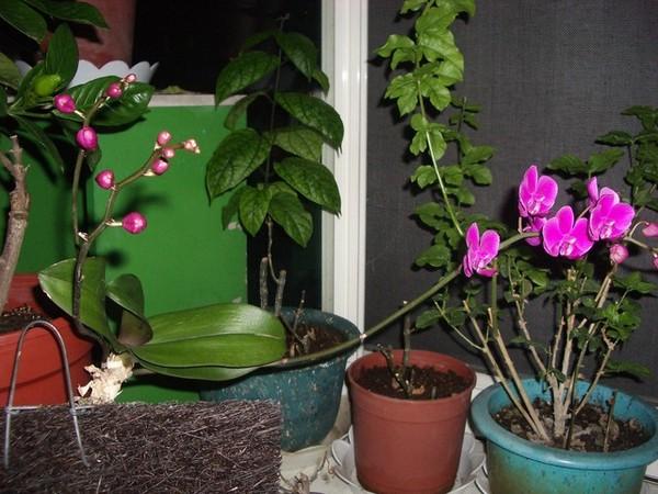 蘭花開花過程