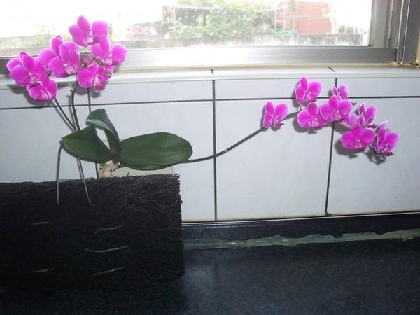 蘭花開花過程盛開時