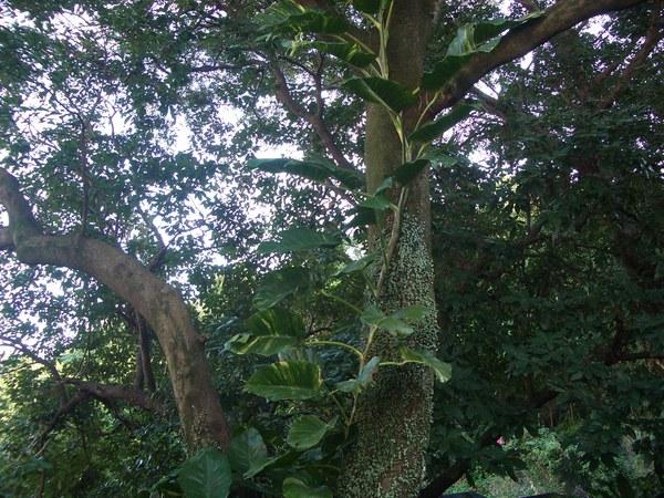 攀附著大樹的黃金葛