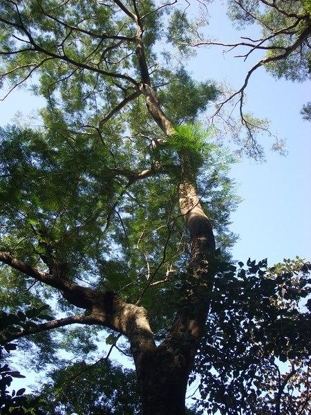 高大的鳳凰樹
