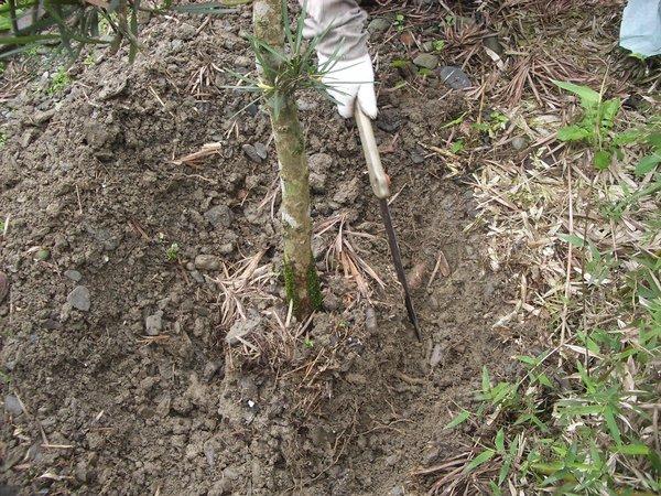 移植時需剪掉粗根