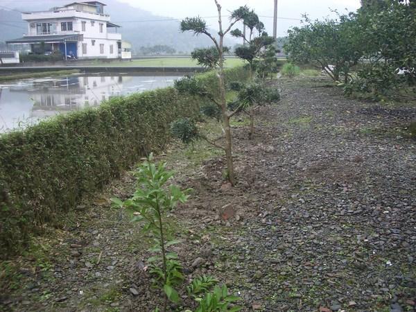 台灣山肉桂和羅漢松種植完成