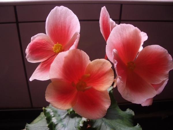 美麗的麗格海棠