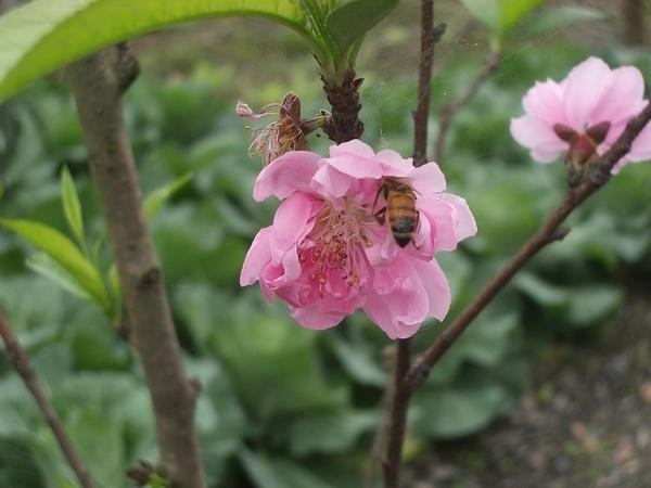 粉紅色杏花蜜蜂採花蜜