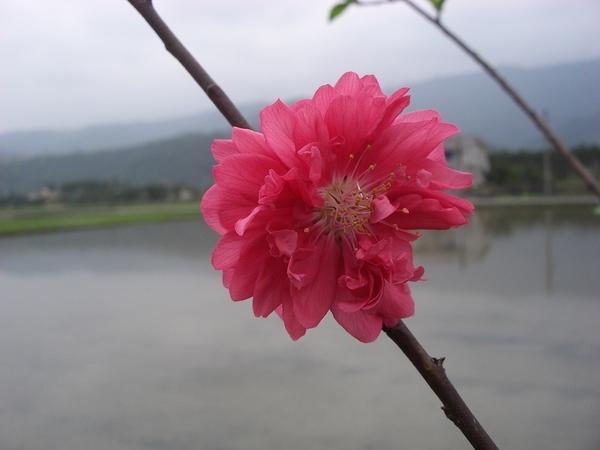 深紅色杏花