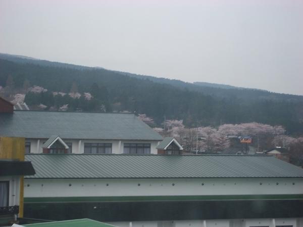 遠處滿山櫻花