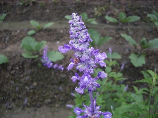 粉萼鼠尾草