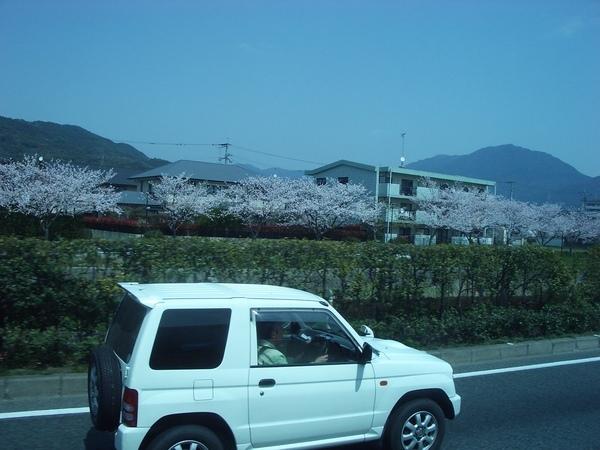 櫻花和小白車