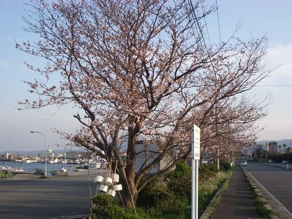 路旁的櫻花