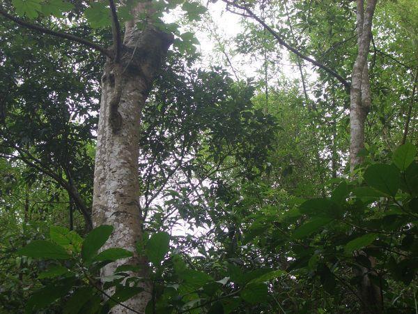 巨大油桐樹
