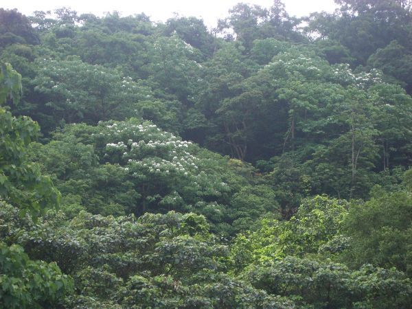 山上的油桐花