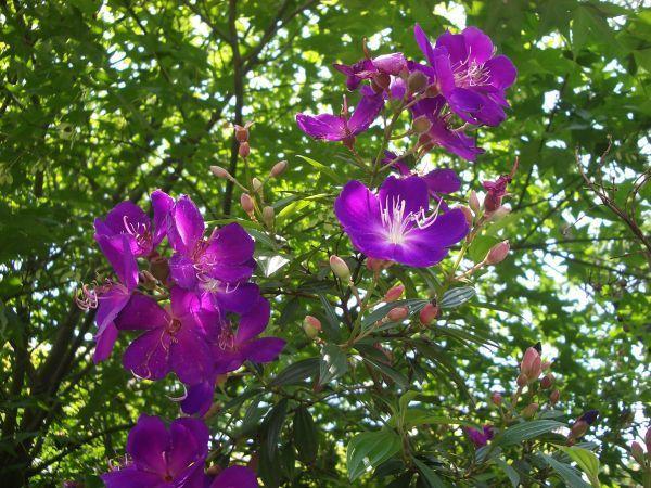 美麗的紫牡丹