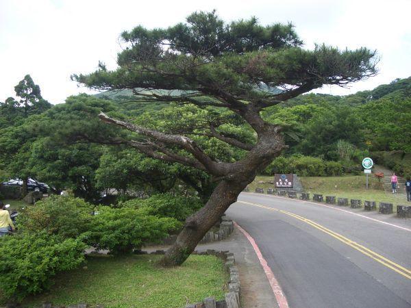 堅毅挺拔的松樹