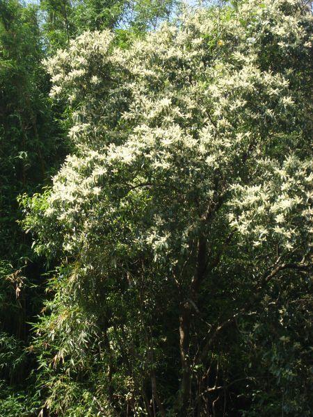 不知名的樹花盛開著