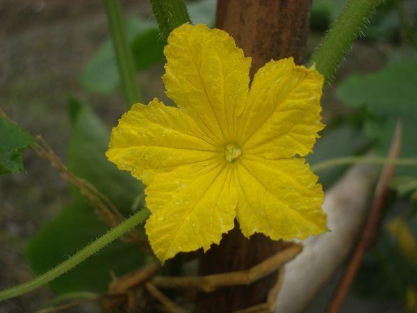 刺瓜(大黃瓜)花