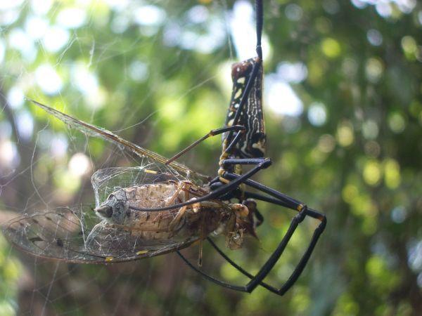 人面蜘蛛享受美食(蟬)