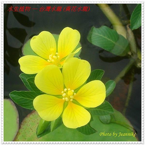 台灣水龍-花