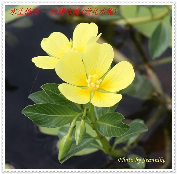台灣水龍-花-花苞