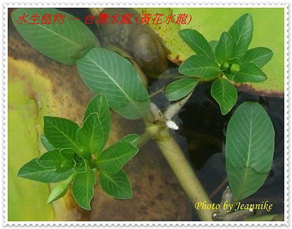台灣水龍-葉