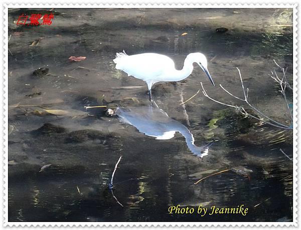 白鷺鷥2.JPG