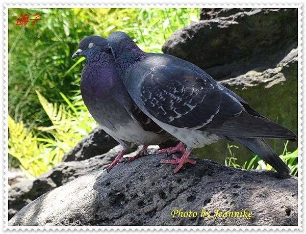鴿子3.JPG
