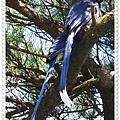 藍鵲.JPG