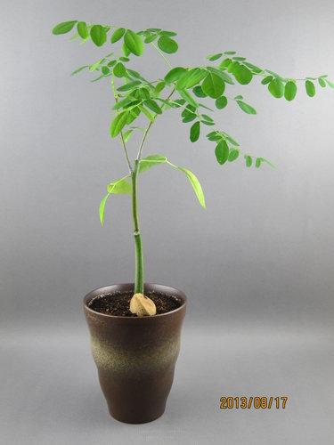 象腳樹 2013.06.20種植